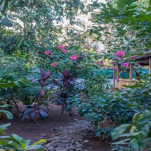 Garden-Hibiscus1A