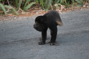 Howler monkey crossing the road in front of Smilin' dog!